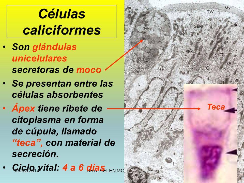 Células caliciformes Son glándulas unicelulares secretoras de moco