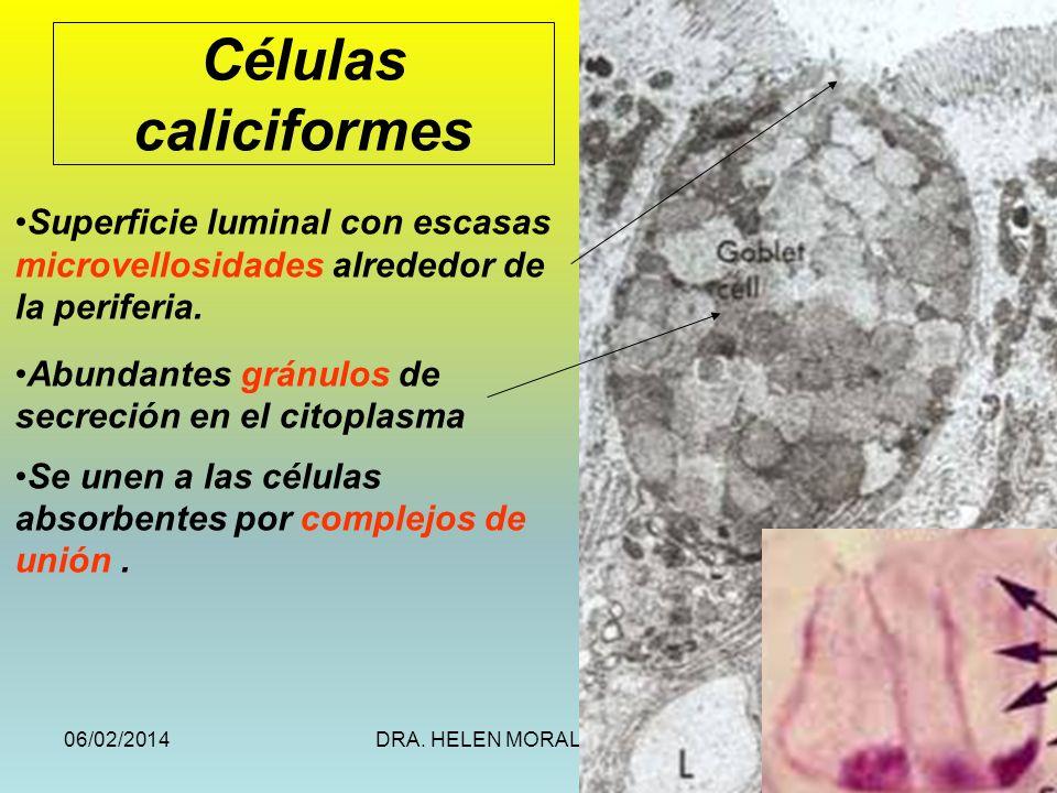Células caliciformesSuperficie luminal con escasas microvellosidades alrededor de la periferia. Abundantes gránulos de secreción en el citoplasma.