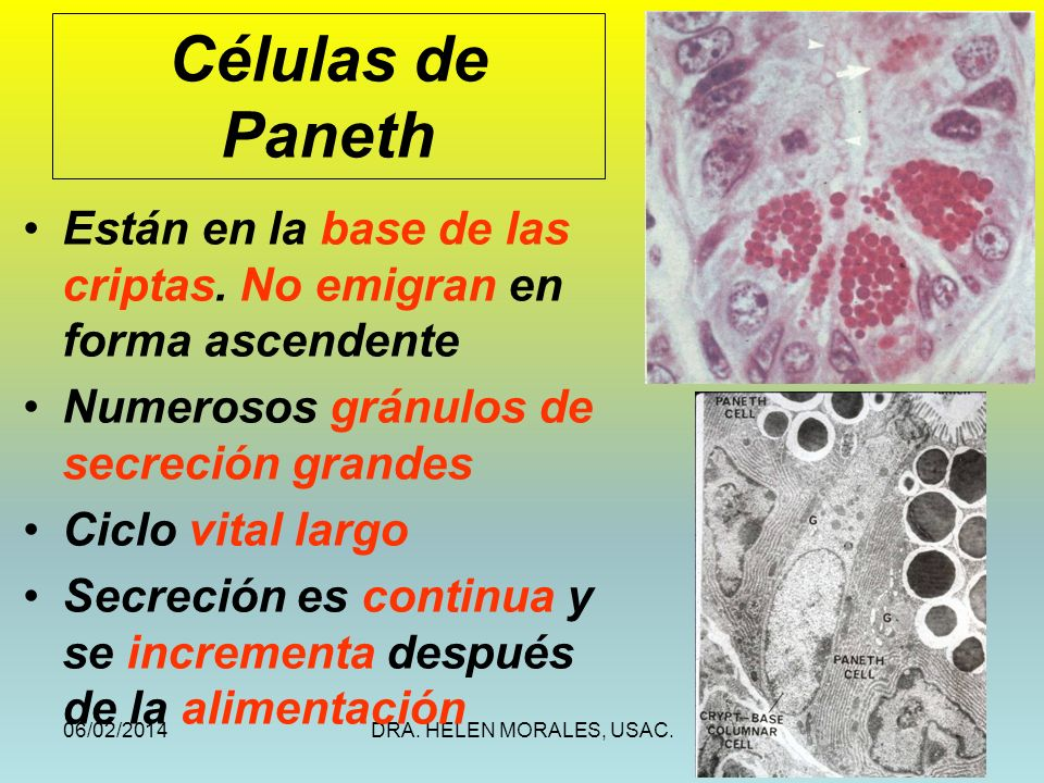 Células de Paneth Están en la base de las criptas. No emigran en forma ascendente. Numerosos gránulos de secreción grandes.