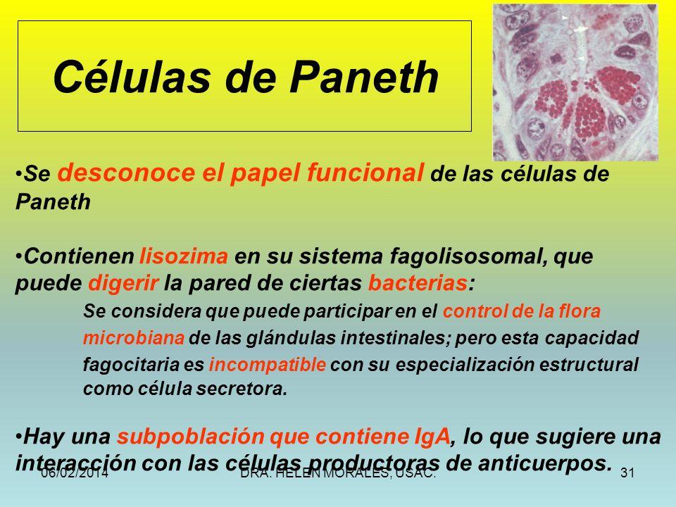 Células de Paneth Se desconoce el papel funcional de las células de Paneth. Contienen lisozima en su sistema fagolisosomal, que.