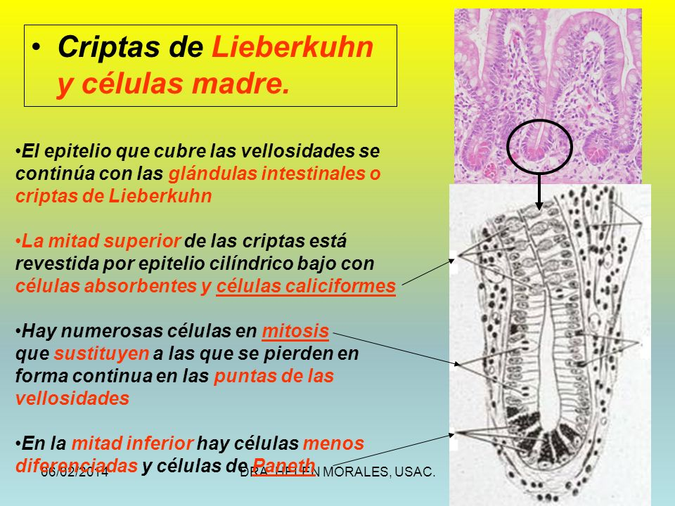 Criptas de Lieberkuhn y células madre.