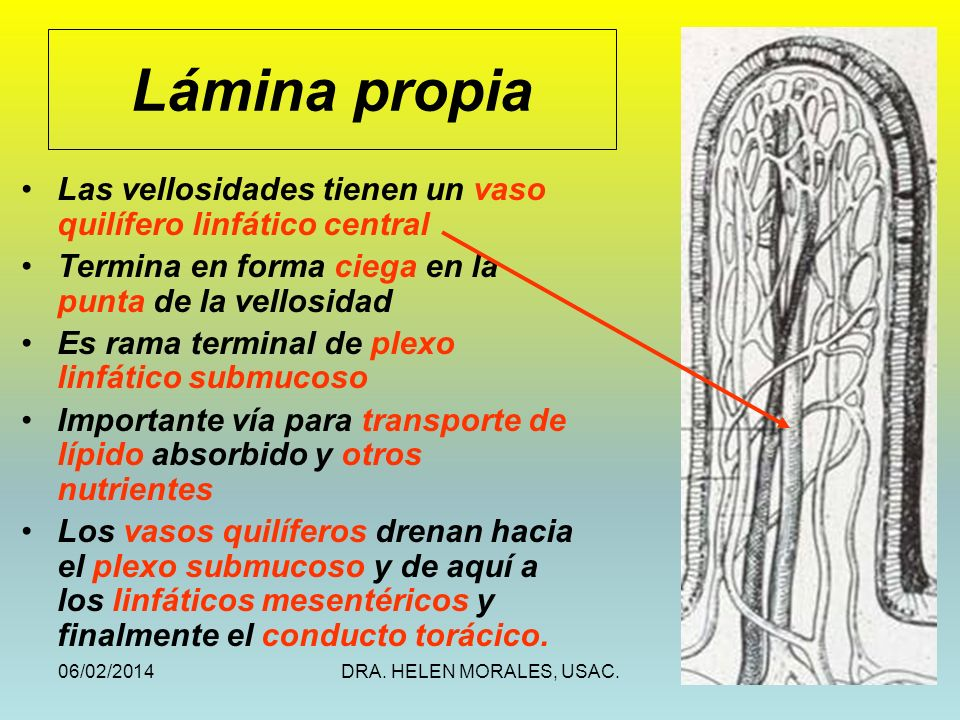 Lámina propia Las vellosidades tienen un vaso quilífero linfático central. Termina en forma ciega en la punta de la vellosidad.