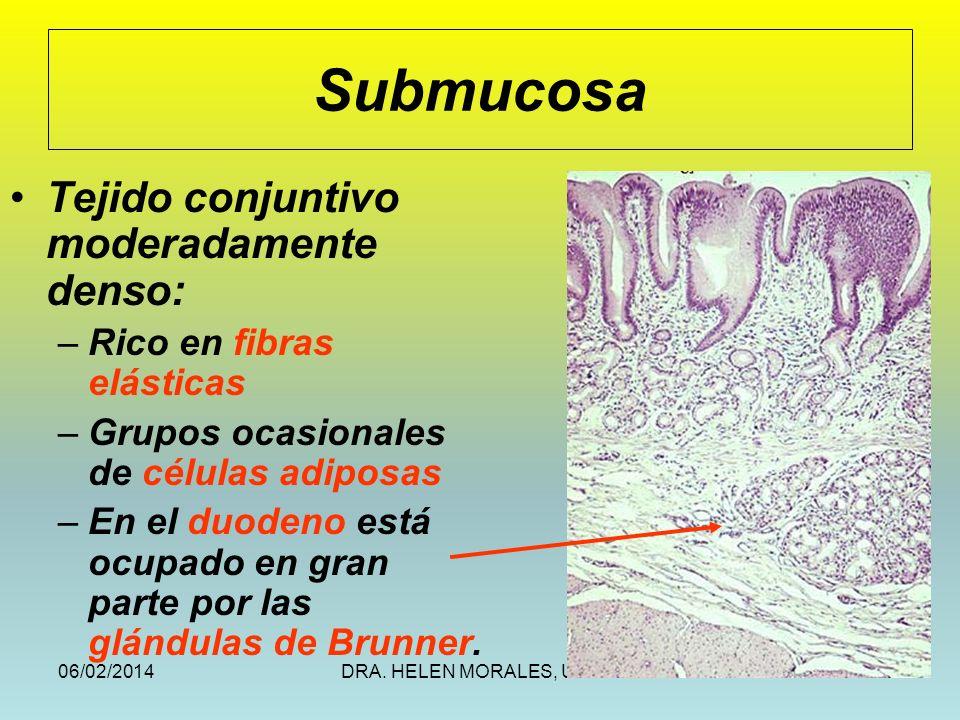 Submucosa Tejido conjuntivo moderadamente denso: