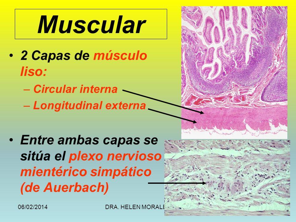 Muscular 2 Capas de músculo liso: