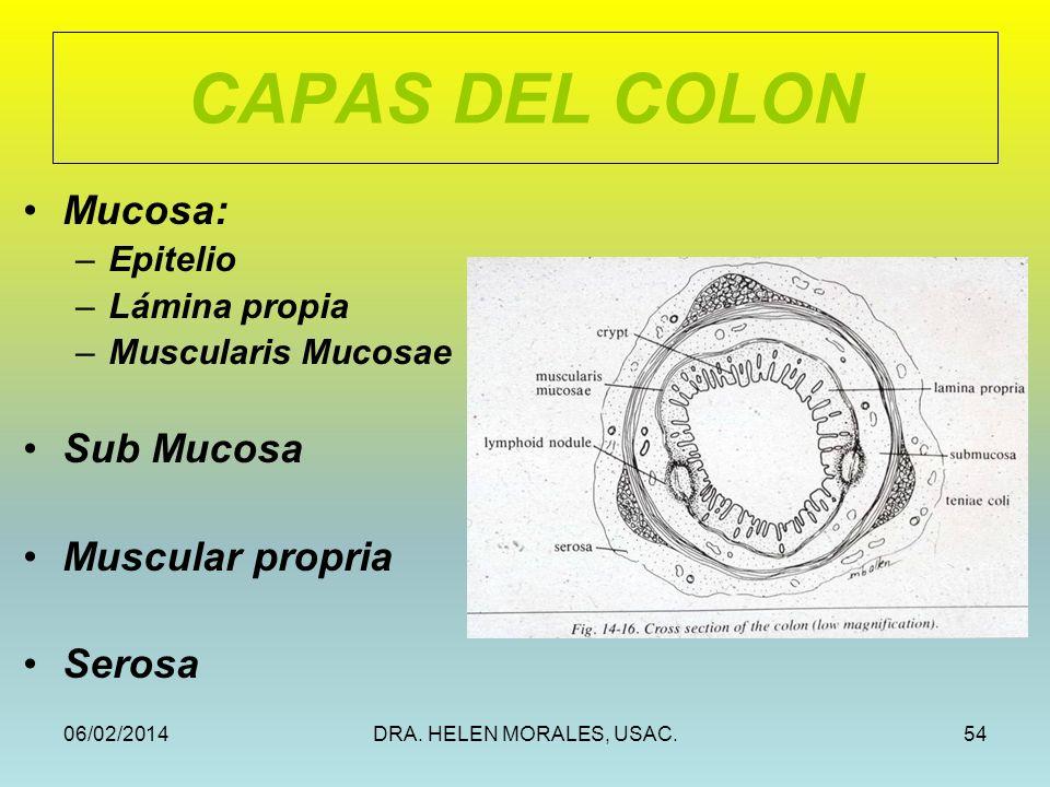 CAPAS DEL COLON Mucosa: Sub Mucosa Muscular propria Serosa Epitelio