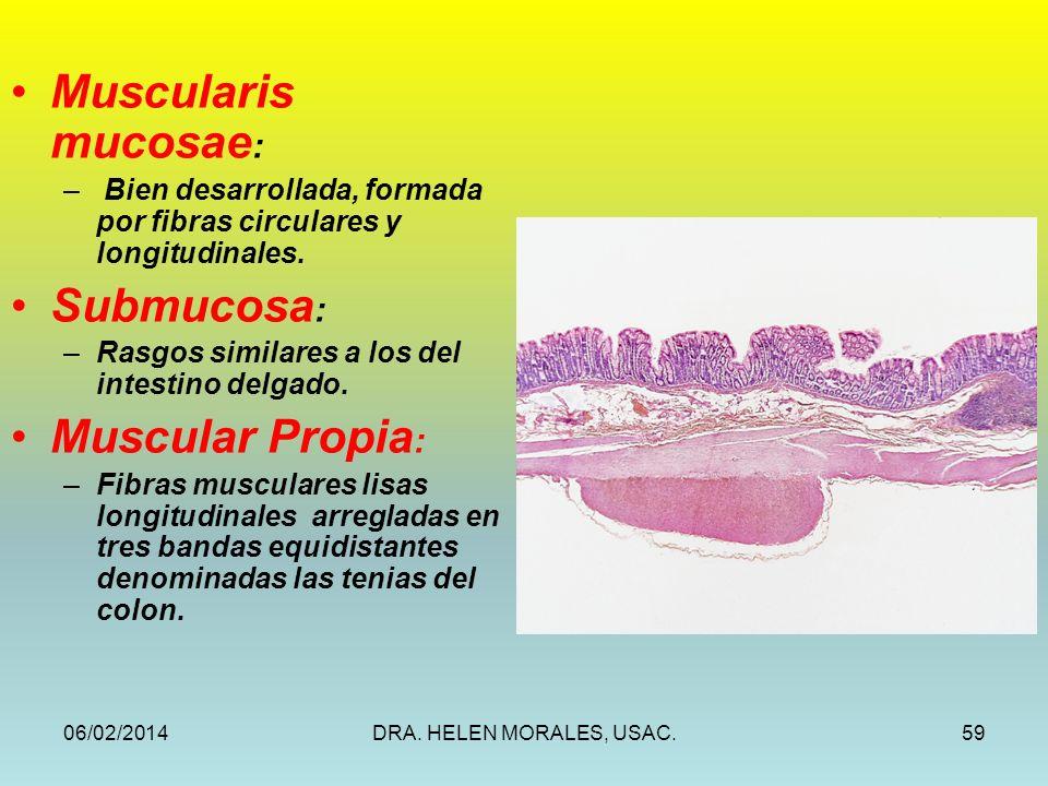 Muscularis mucosae: Submucosa: Muscular Propia: