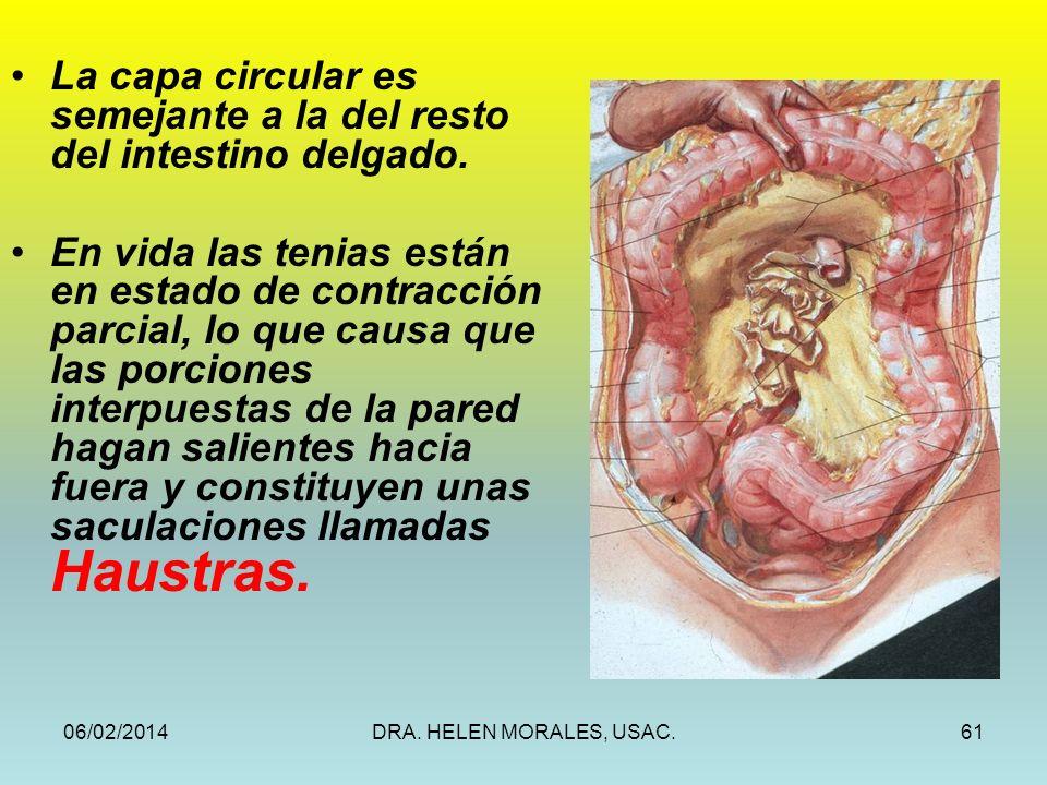 La capa circular es semejante a la del resto del intestino delgado.