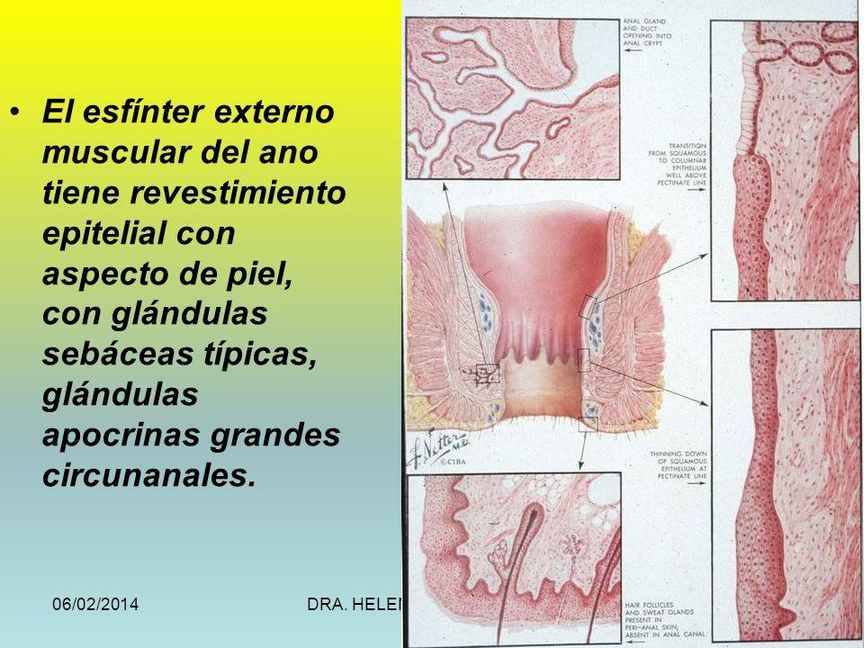 El esfínter externo muscular del ano tiene revestimiento epitelial con aspecto de piel, con glándulas sebáceas típicas, glándulas apocrinas grandes circunanales.
