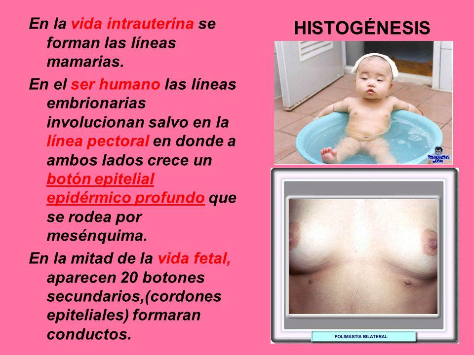 En la vida intrauterina se forman las líneas mamarias