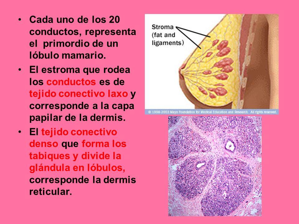 Cada uno de los 20 conductos, representa el primordio de un lóbulo mamario.