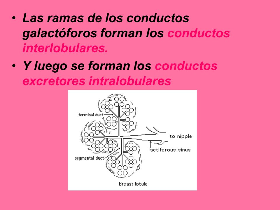 Las ramas de los conductos galactóforos forman los conductos interlobulares.