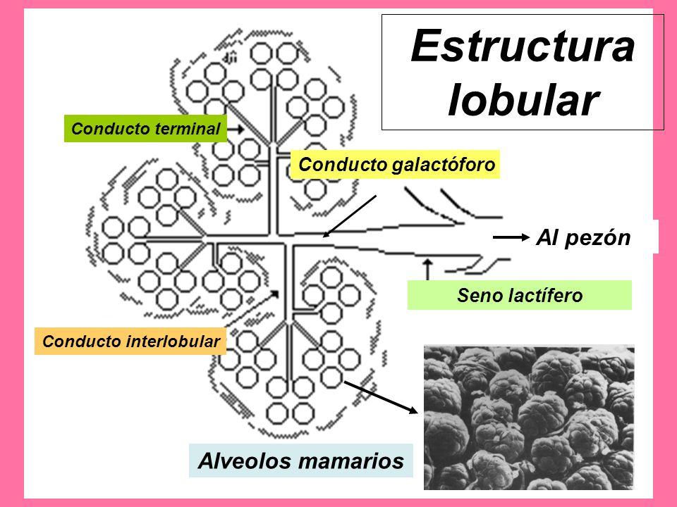 Estructura lobular Al pezón Alveolos mamarios Conducto galactóforo