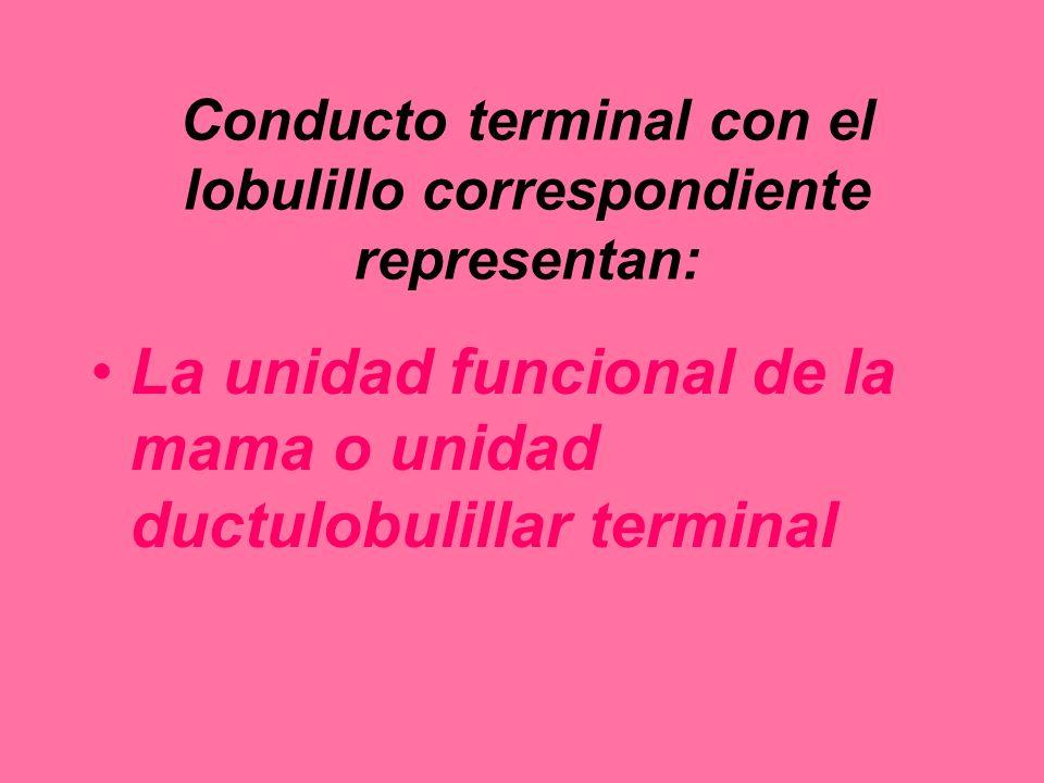 Conducto terminal con el lobulillo correspondiente representan: