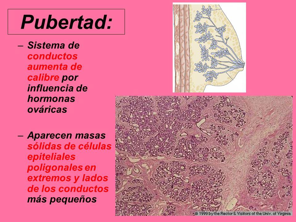 Pubertad: Sistema de conductos aumenta de calibre por influencia de hormonas ováricas.