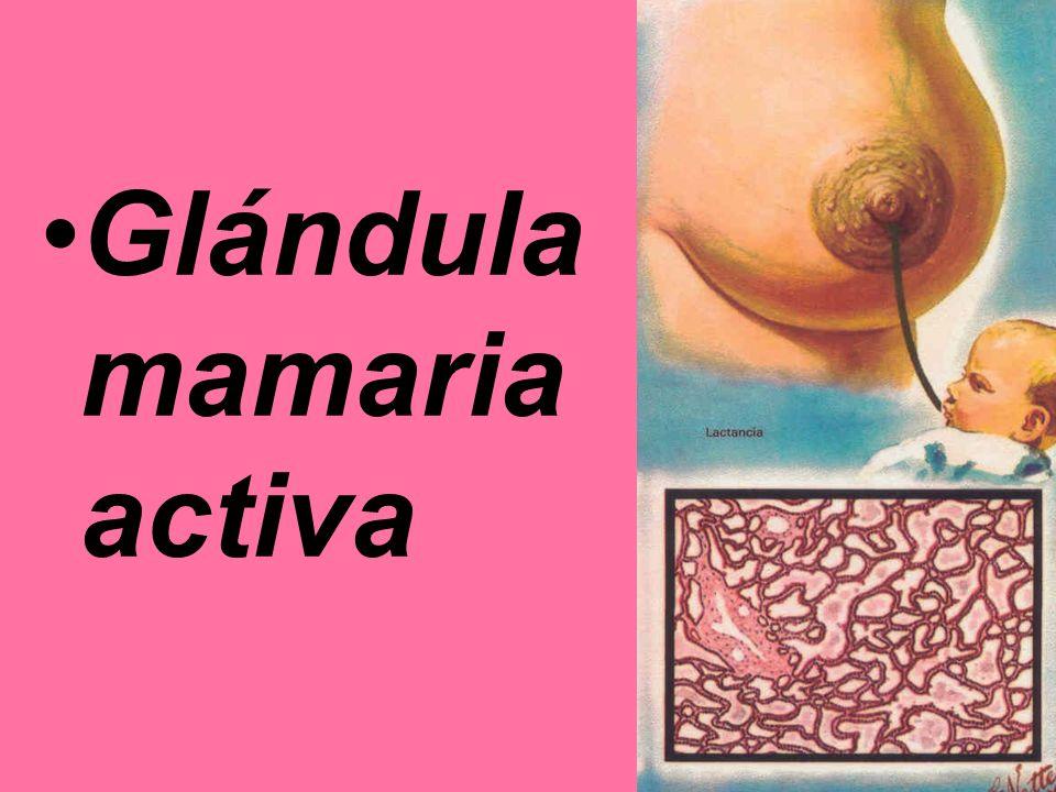 Glándula mamaria activa