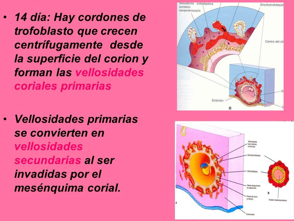 14 día: Hay cordones de trofoblasto que crecen centrífugamente desde la superficie del corion y forman las vellosidades coriales primarias