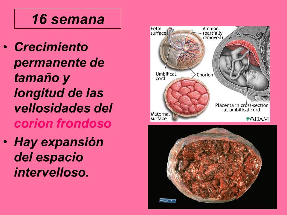 16 semana Crecimiento permanente de tamaño y longitud de las vellosidades del corion frondoso.