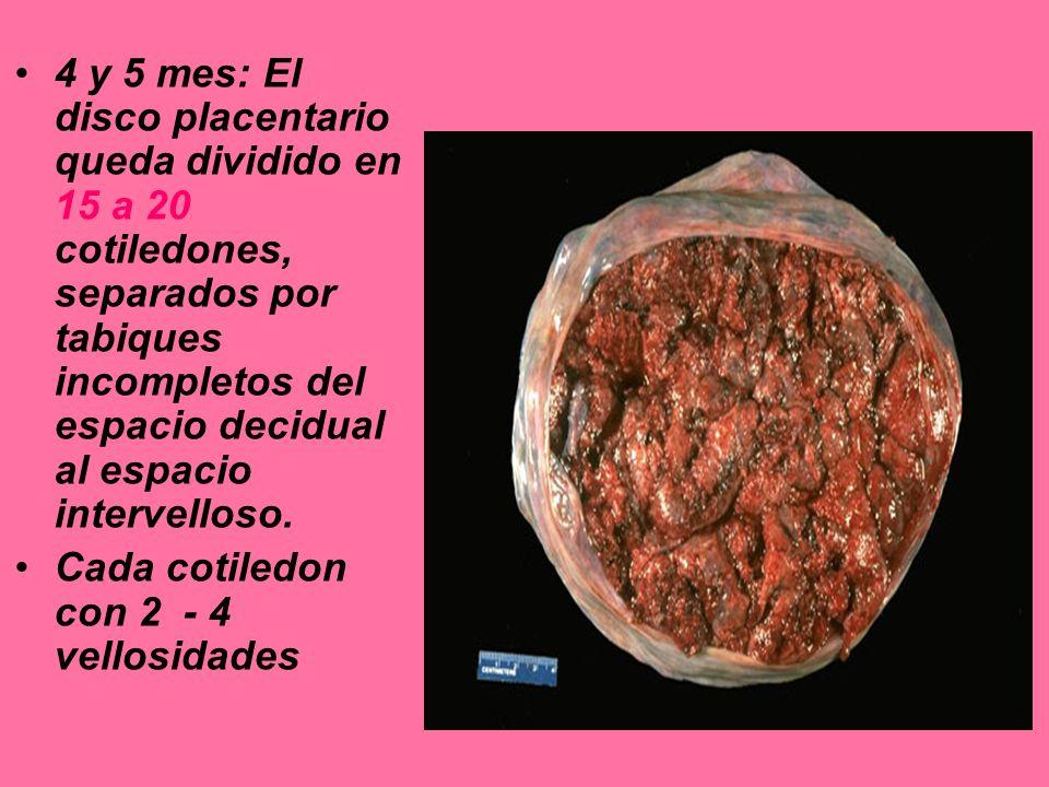 4 y 5 mes: El disco placentario queda dividido en 15 a 20 cotiledones, separados por tabiques incompletos del espacio decidual al espacio intervelloso.
