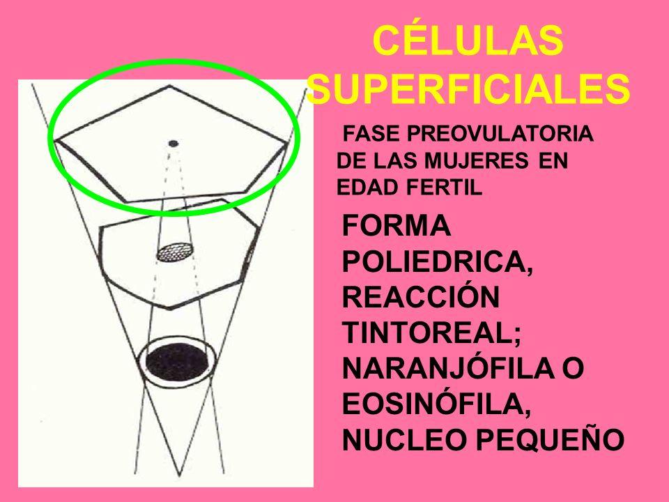 CÉLULAS SUPERFICIALES