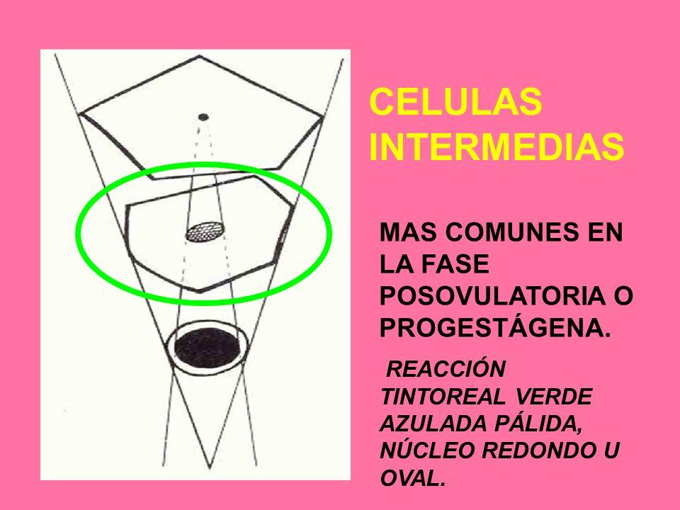 CELULAS INTERMEDIAS MAS COMUNES EN LA FASE POSOVULATORIA O PROGESTÁGENA.