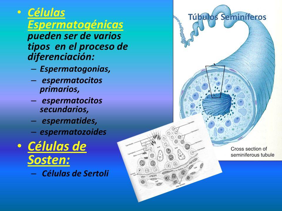 Células Espermatogénicas pueden ser de varios tipos en el proceso de diferenciación: