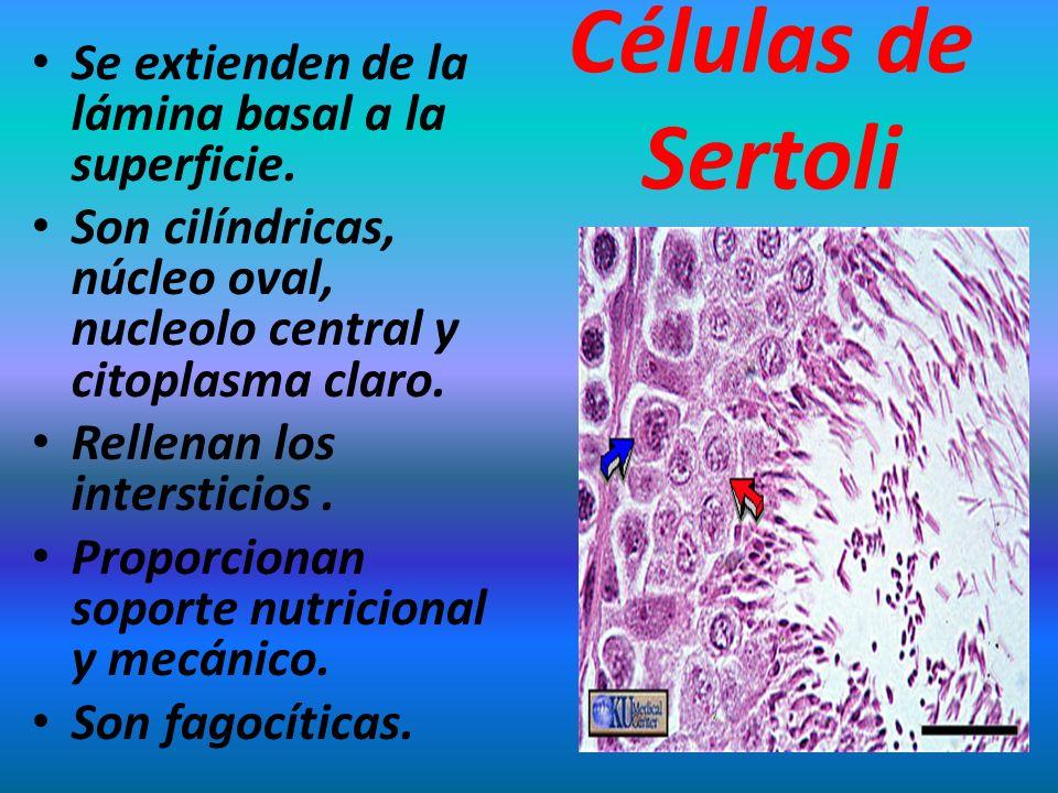 Células de Sertoli Se extienden de la lámina basal a la superficie.