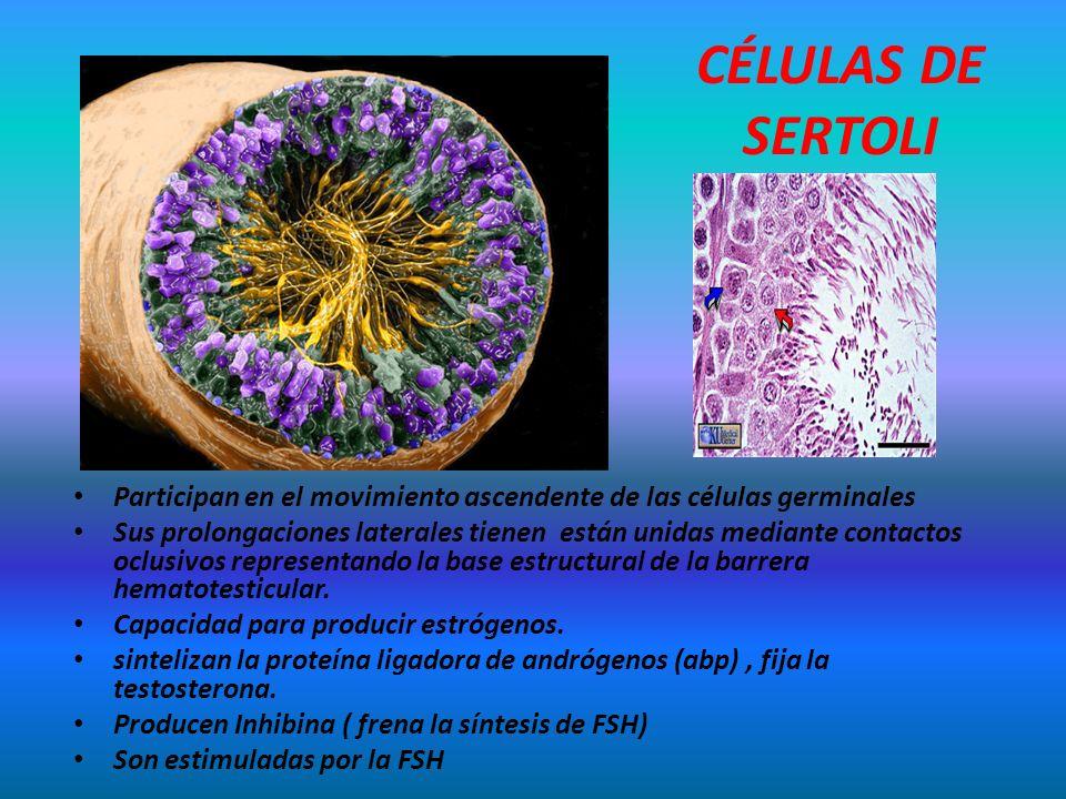 CÉLULAS DE SERTOLI Participan en el movimiento ascendente de las células germinales.