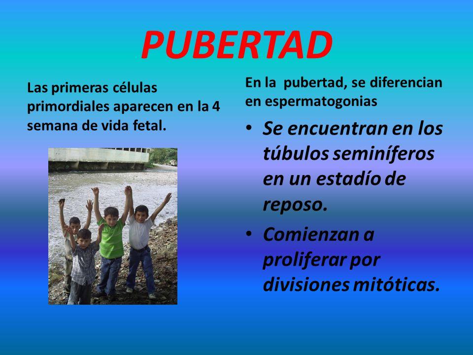 PUBERTAD En la pubertad, se diferencian en espermatogonias. Las primeras células primordiales aparecen en la 4 semana de vida fetal.
