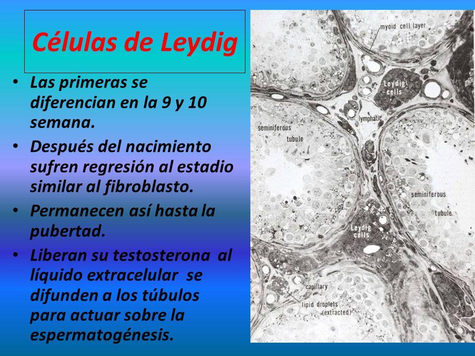Células de Leydig Las primeras se diferencian en la 9 y 10 semana.
