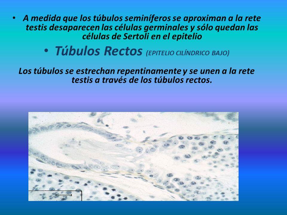 Túbulos Rectos (EPITELIO CILÍNDRICO BAJO)