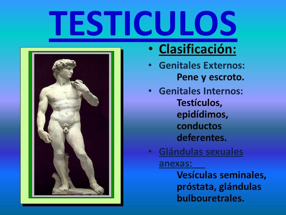 TESTICULOS Clasificación: Genitales Externos: Pene y escroto.