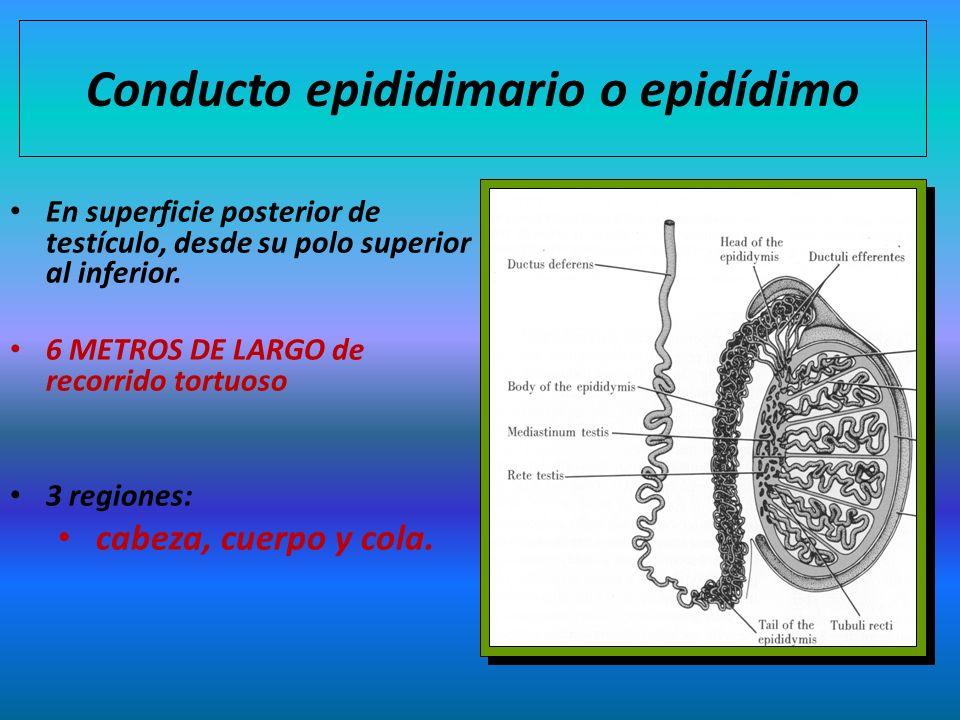 Conducto epididimario o epidídimo