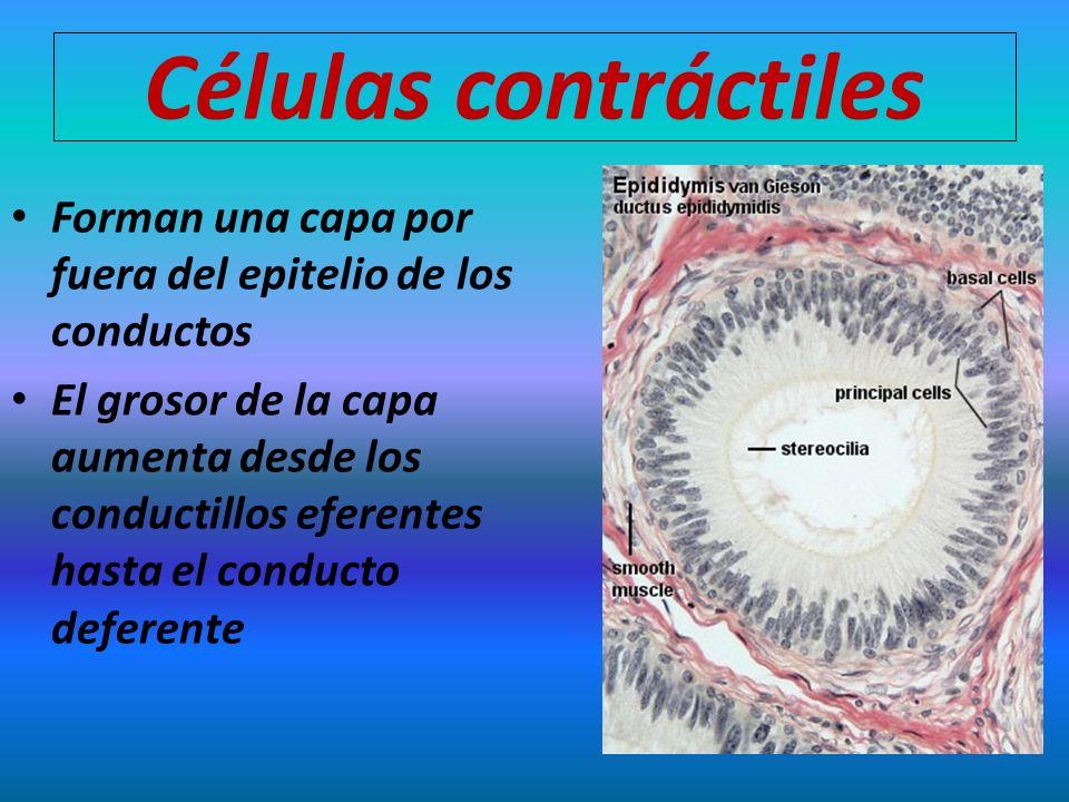 Células contráctiles Forman una capa por fuera del epitelio de los conductos.