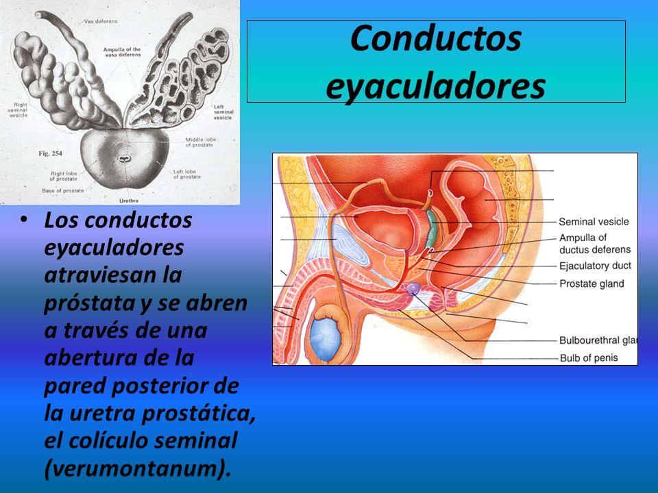 Conductos eyaculadores