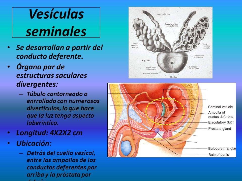 Vesículas seminales Se desarrollan a partir del conducto deferente.