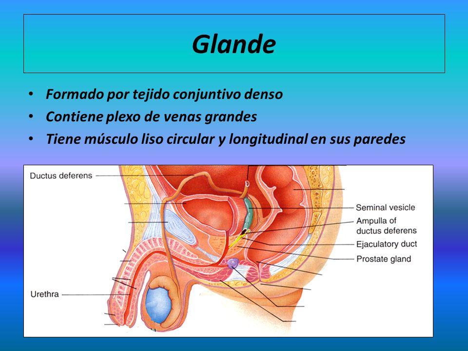 Glande Formado por tejido conjuntivo denso