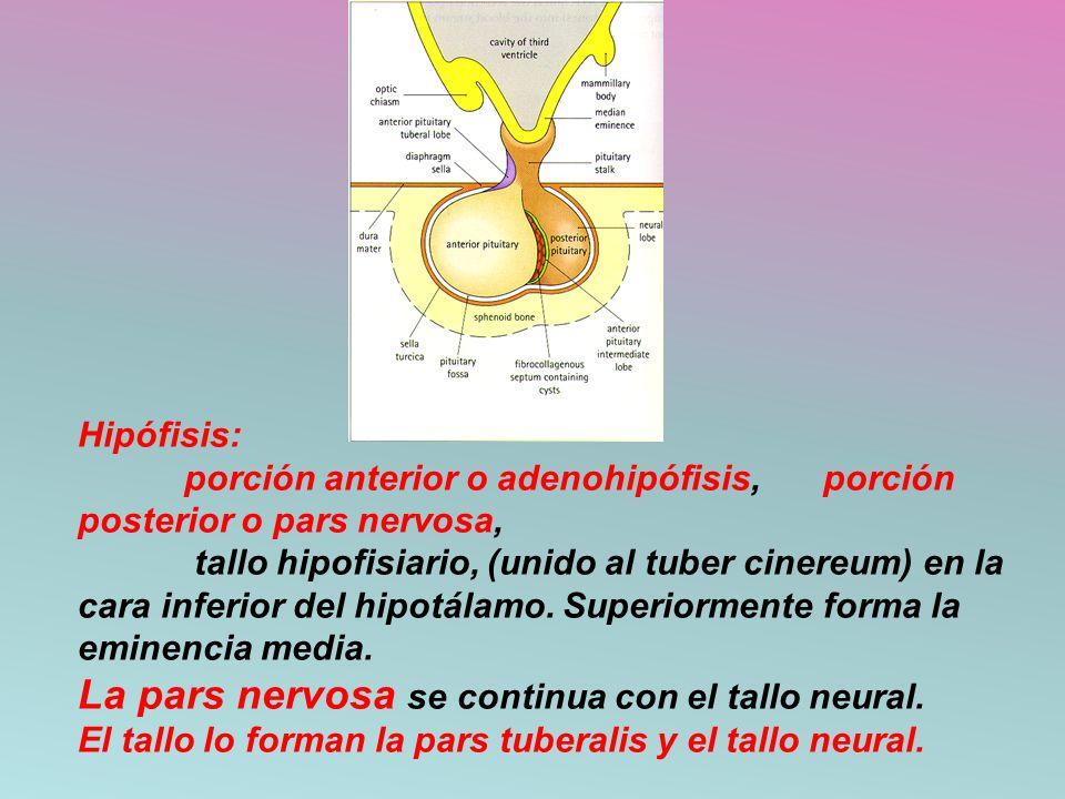 Hipófisis:. porción anterior o adenohipófisis,