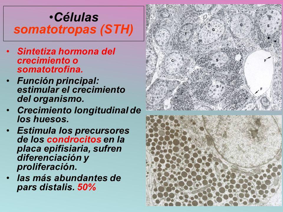 Células somatotropas (STH)