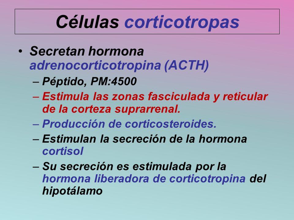 Células corticotropas