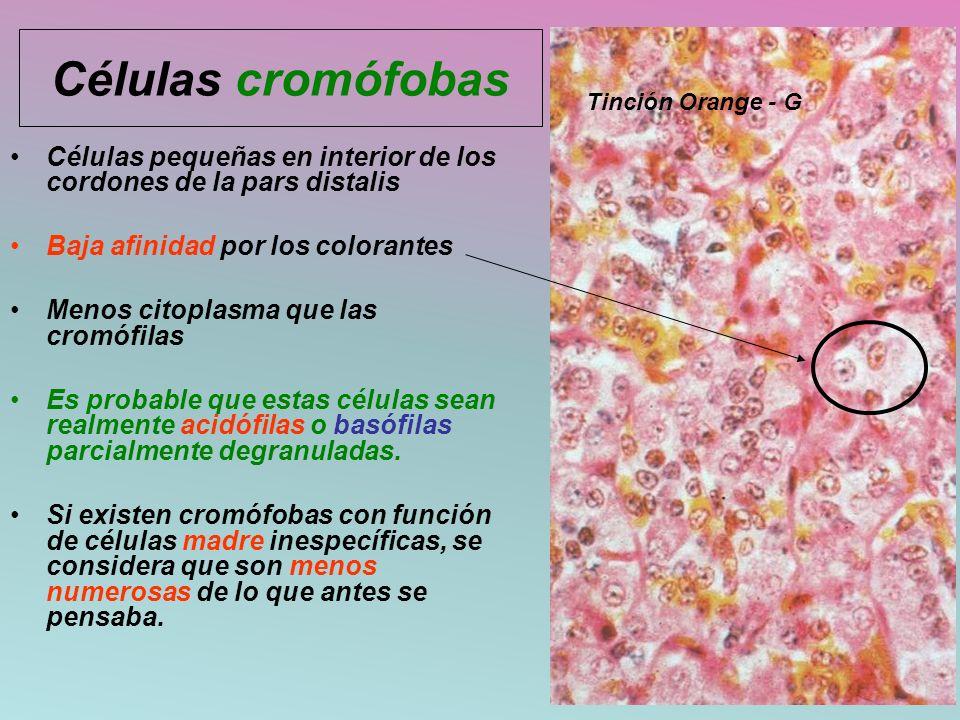 Células cromófobas Tinción Orange - G. Células pequeñas en interior de los cordones de la pars distalis.