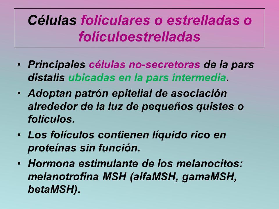 Células foliculares o estrelladas o foliculoestrelladas