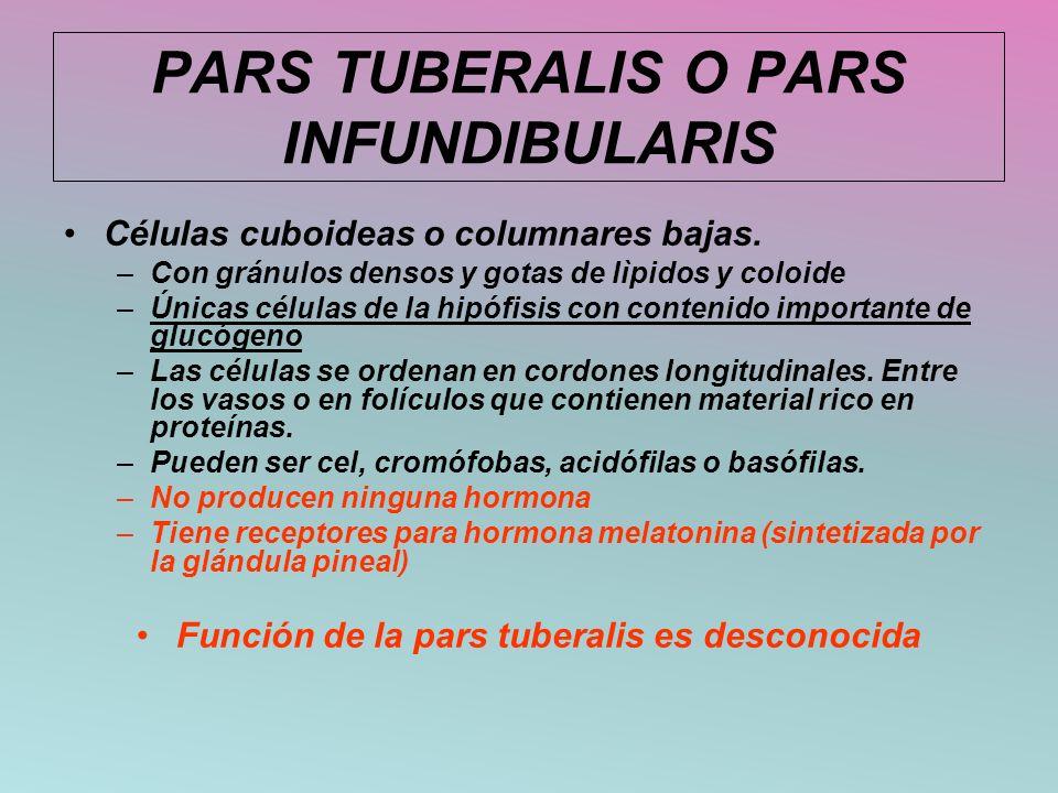 PARS TUBERALIS O PARS INFUNDIBULARIS