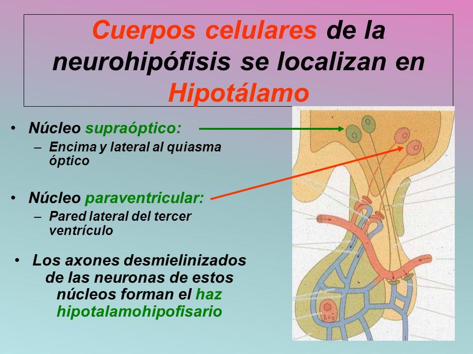 Cuerpos celulares de la neurohipófisis se localizan en Hipotálamo