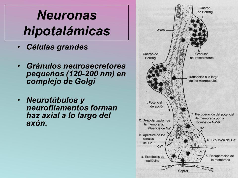 Neuronas hipotalámicas
