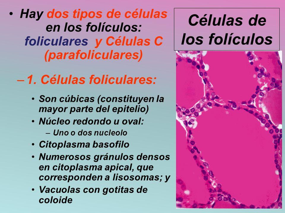 Células de los folículos