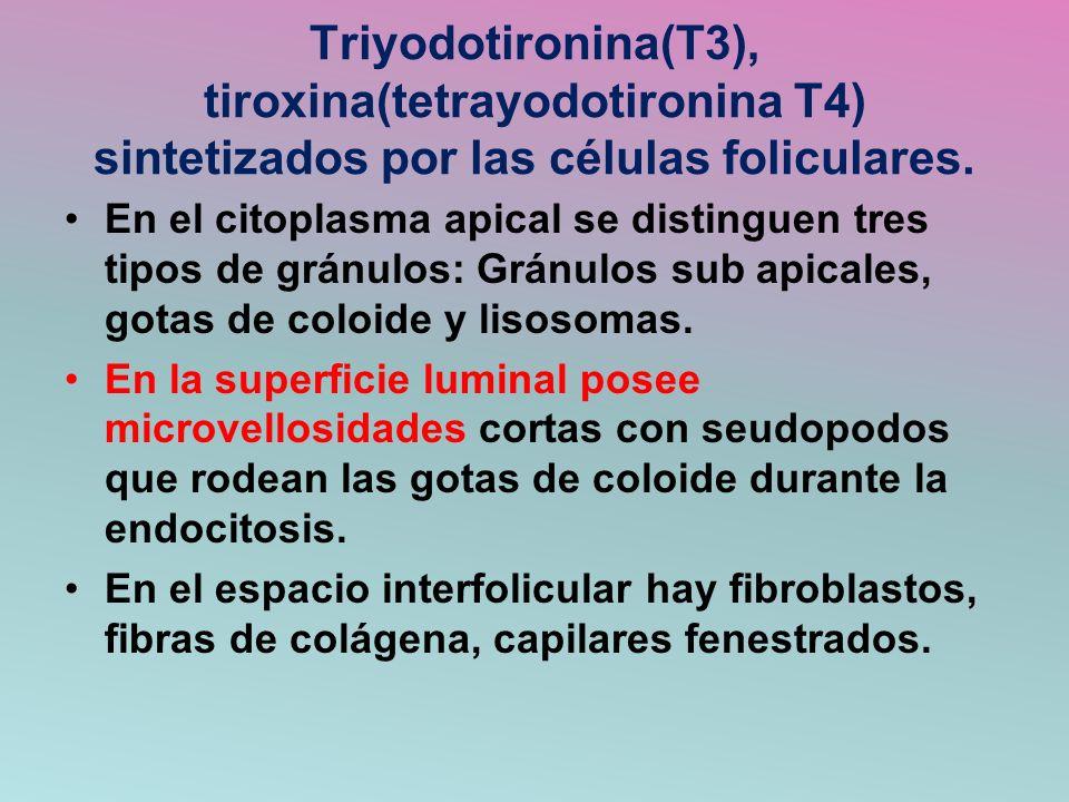 Triyodotironina(T3), tiroxina(tetrayodotironina T4) sintetizados por las células foliculares.