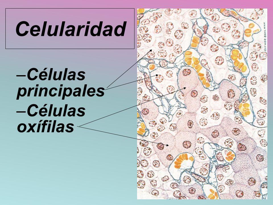 Celularidad Células principales Células oxífilas