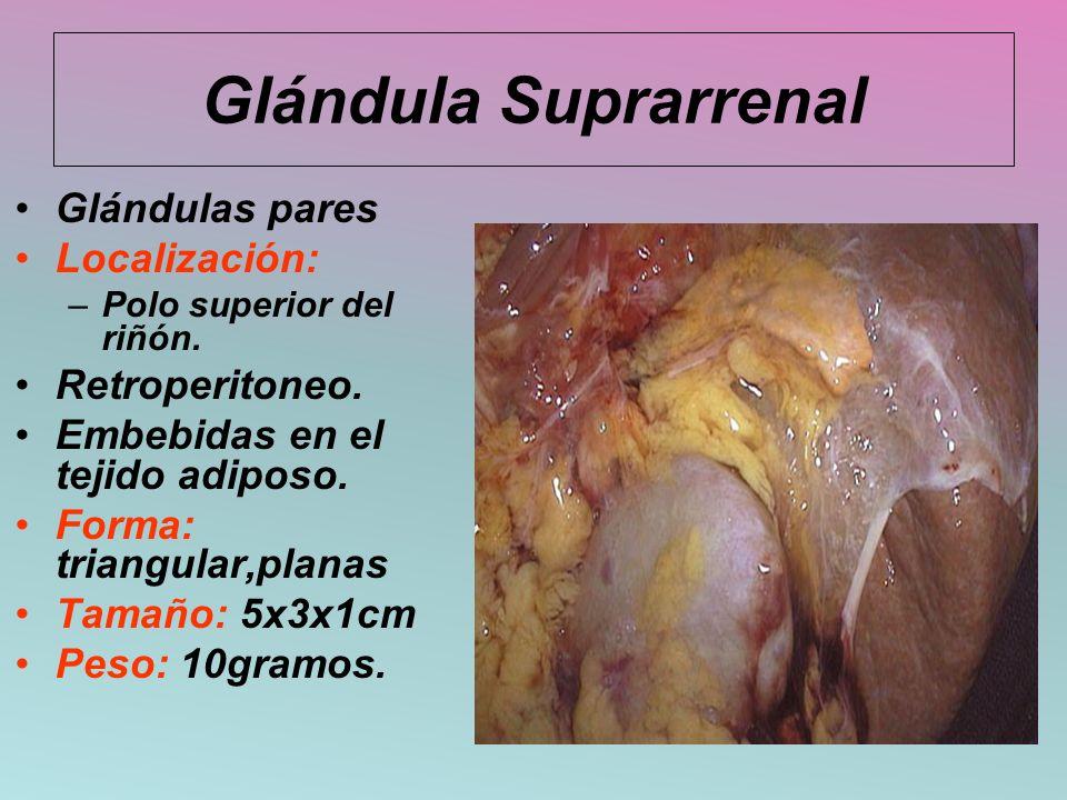 Glándula Suprarrenal Glándulas pares Localización: Retroperitoneo.