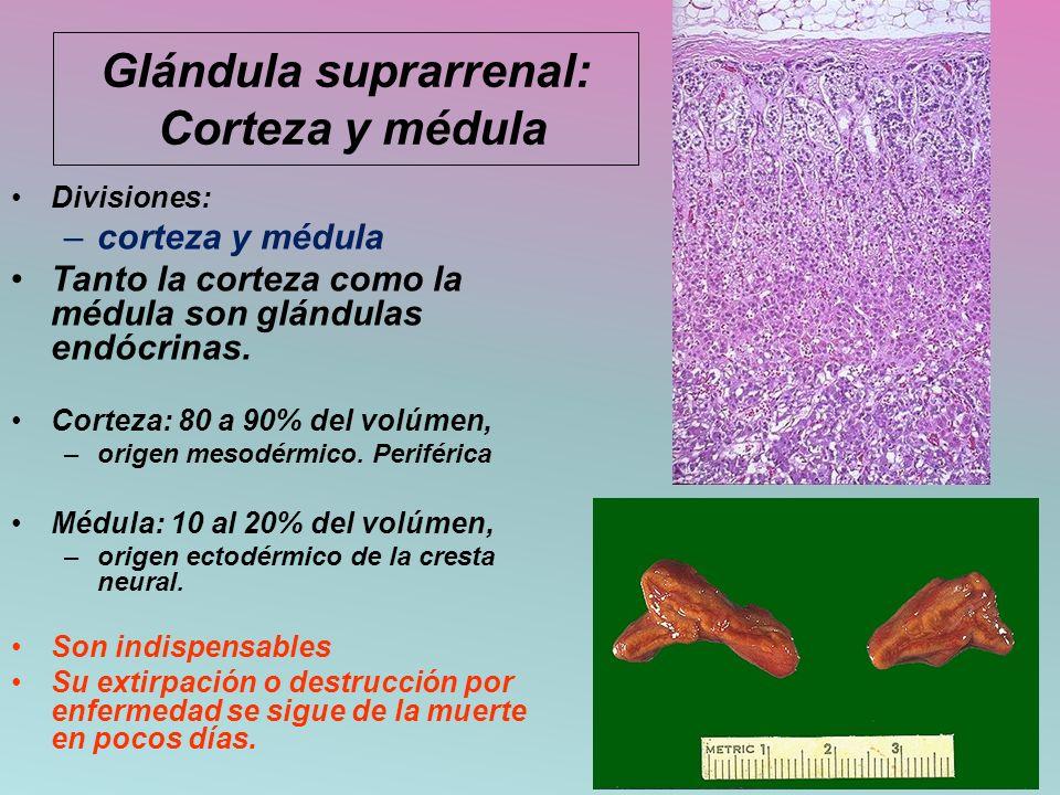 Glándula suprarrenal: Corteza y médula