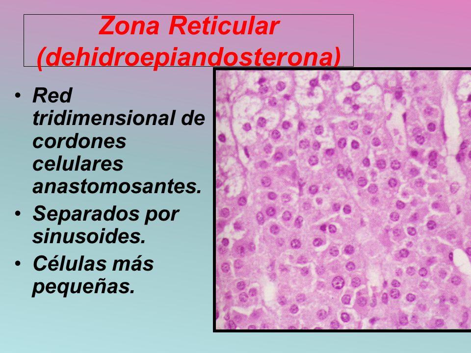 Zona Reticular (dehidroepiandosterona)